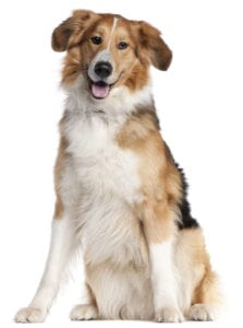 shepherd dog wb